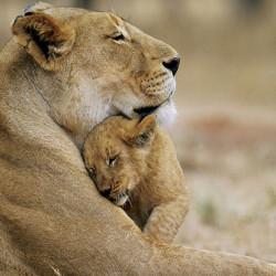 Fototapet Animale, Leoaică și puiul ei de leu