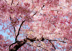 Fototapet, Flori roz pe fundalul cerului