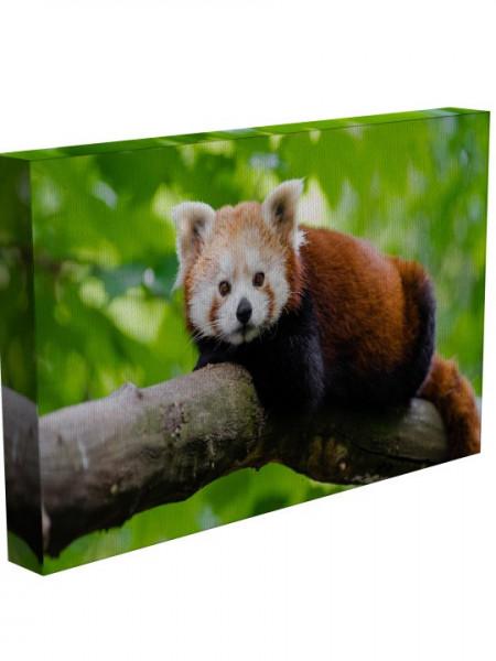 Poze TABLOU RED PANDA