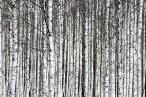 Tapet din hartie cu fibre de nailon Birch Trunks Rebel Walls