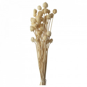 Plante ornamentale uscate crem 70 cm Dipsacus Asper Opjet Paris