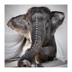 Poster multicolor din hartie 50x50 cm Elephant Adele Love Warriors