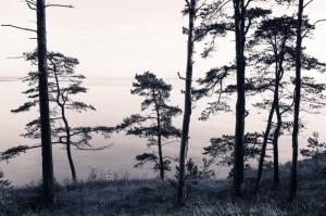 Tapet din hartie cu fibre de nailon Old Pine Trees Rebel Walls
