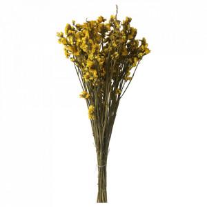 Plante ornamentale uscate galben miere 70 cm Myosotis Silvatica Opjet Paris