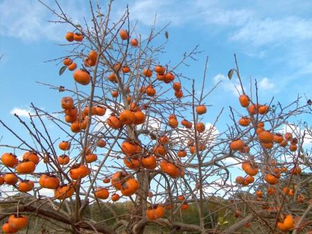 75 Lei Puieti de 3 ani Diospyros Kaki Jiro Cachi Tipo Persimmon Sharon Curmal japonez Fructul zeilor