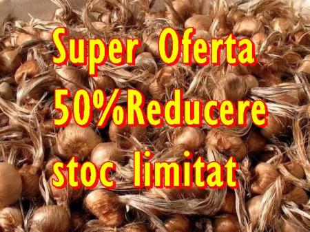 Bulbi de sofran Crocus Sativus marime 7-11+ mixati, 0.48 Lei/buc 75 lei/0.5kg 100-150bucati/plasa de 500Gr