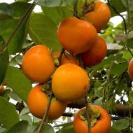 Oferta 65 lei!!! Puieti de 3 ani Diospyros Kaki Jiro Cachi Tipo Persimmon Sharon Curmal japonez Fructul zeilor