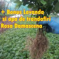 Butasi Trandafiri Bulgaresti de dulceata Rosa Damascena +bonus lavanda si Apa de trandafiri