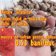 Bulbi de sofran Crocus Sativus marime 7-11+ mixati, 0.53 Lei/buc 165 lei/kg 150-280bucati/plasa de un Kg Livrare Gratuita in toata tara + mostra de sofran condiment