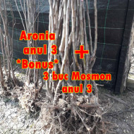 98/lei 3 puieti de Mosmon /Mespilus germanica/ de 3 ani, plus***BONUS 2 aronia /3 ani