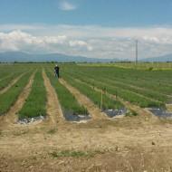 45% finantare pentru culturi de Lavanda, contract de achizitie pe termen lung