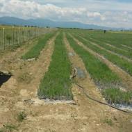 50% finantare pentru culturi de Lavanda, contract de achizitie pe termen lung