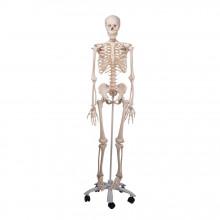 Model Ljudski Kostur