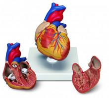 Model Ljudsko Srce