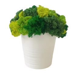 Ghiveci cu licheni verzi