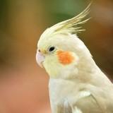 Papagaj Nimfa