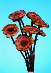 Flori uscate, Protea Curly natur