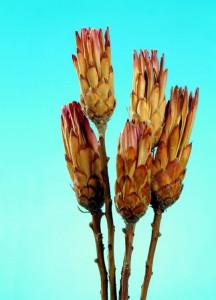 Flori uscate, buchet Protea roz
