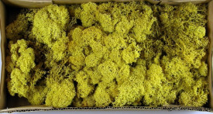 Muschi Islanda, galben, 500 gr