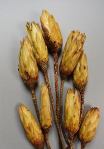 Flori uscate, buchet Protea galben