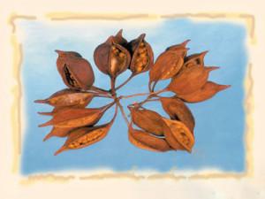 Brachychiton natur, 250 g