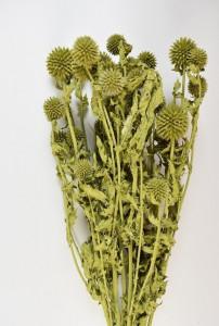 Flori uscate, Echinops, verde