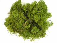 Muschi de Islanda, 250 gr, verde mar