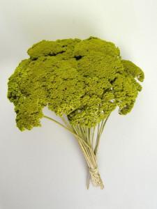 Flori uscate, Achillea/Coada Soricelului, verde aprins
