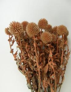 Flori uscate, Echinops, portocaliu