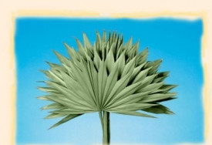 Frunze de palmier, nap, natur