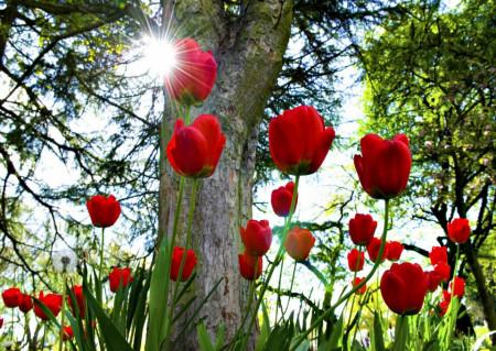 Fototapet, Lalele roșii în parc
