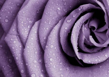 Fototapete, Petalele mov ale trandafirului