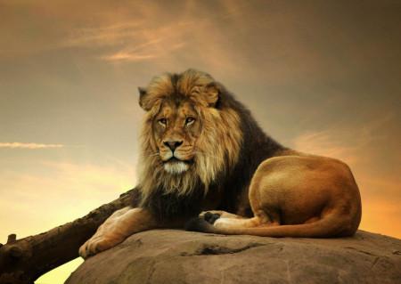 Fototapet Animale, Regele leu