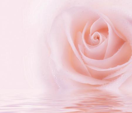 Fototapet, Un trandafir roz delicat