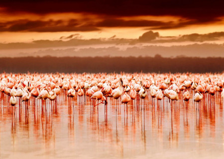 Fototapete cu flamingo roz la apusul soarelui.