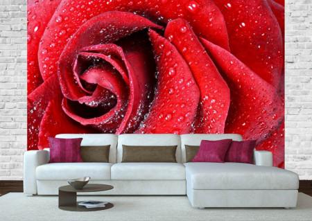 Fototapete, Un trandafir roșu și roua de dimineață