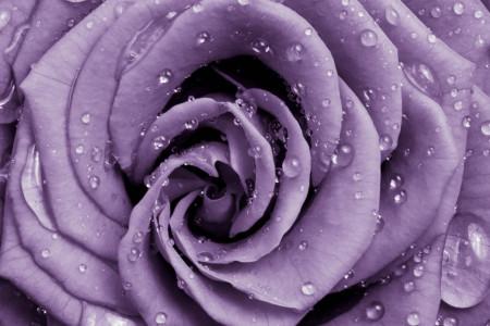 Fototapete, Trandafir violet cu picături pe petale