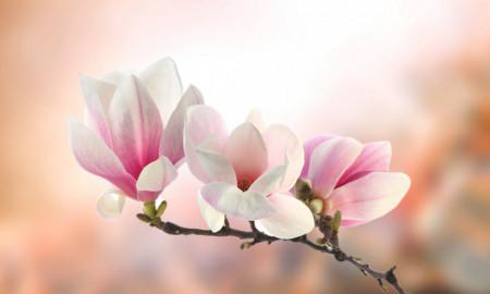 Fototapete, Flori de primăvară blând.