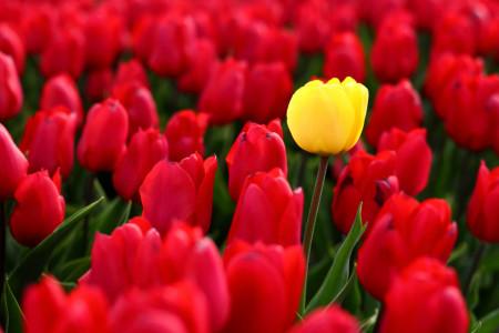 Fototapet, Lalele galbene și roșii