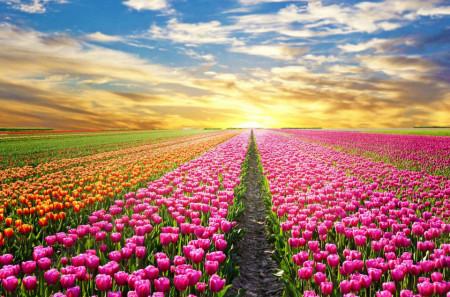 Fototapete, Tulip câmp la apusul soarelui