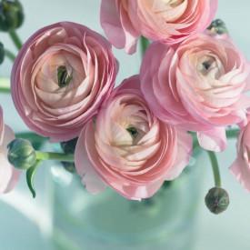 Fototapete, Bujori roz