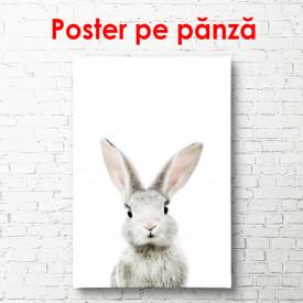 Poster, Iepure pe un fundal alb