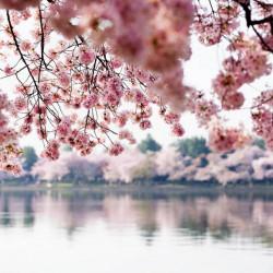 Fototapet Natura, Peisaje, Sakura deasupra lac