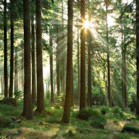 Fototapet,Razele soarelui își fac drum prin frunze