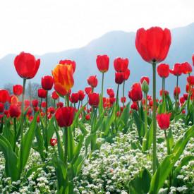 Fototapet, Un câmp cu lalele roșii
