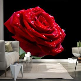 Fototapet, Un trandafir roșu pe fundal negru