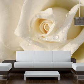 Fototapete, Un trandafir alb și picăturile de apă