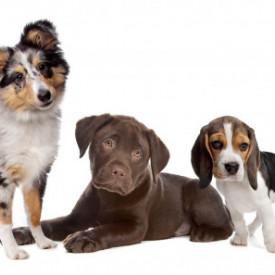 Poster, Câini amuzanți pe un fundal alb