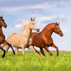 Fototapet, Galopul cailor pe iarba verde