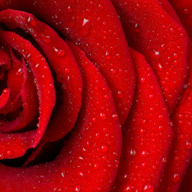 Fototapete, Petale roșii de trandafir